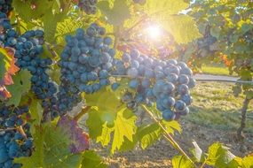 blue winegrape