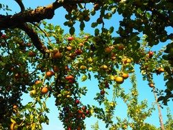 fruiting apple orchard