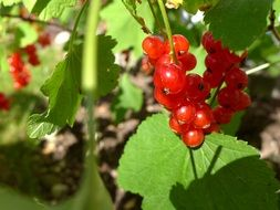 red currant berries on a bush close-up