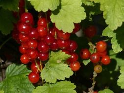 red currant summer fruit