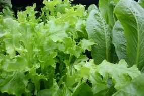 variety of organic green lettuce