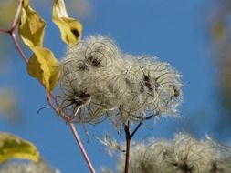 clematis vitalba against the blue sky