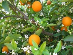 ripe oranges on a garden tree
