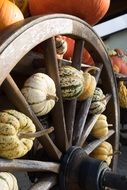 seasonal harvest of pumpkins