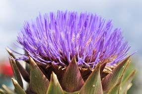 artichoke flower in Italy
