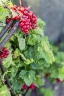 red currants with green leaves