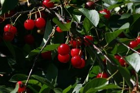 ripe cherries on tree branches