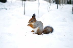 pretty squirrel sitting on snow surface
