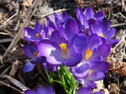 blue crocuses as a symbol of spring