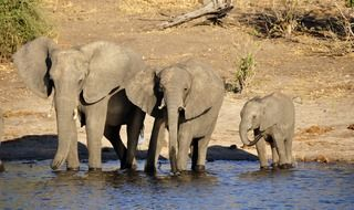 family of elephants at the water in botswana