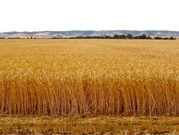 ripe wheat field in countryside
