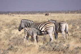family of zebras in the wild africa