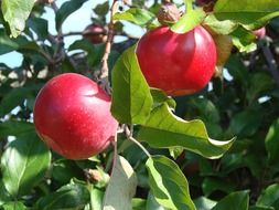 red apples on a tree branch with green leaves