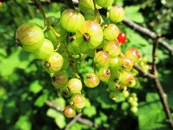 small berries of a gooseberry on a bush