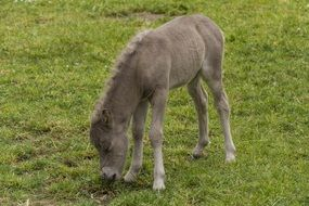 foal on a green meadow