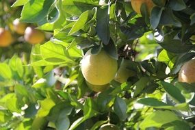 unripe oranges on green tree