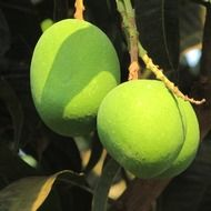 two green mango on a branch in India