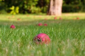 pink apples on green grass