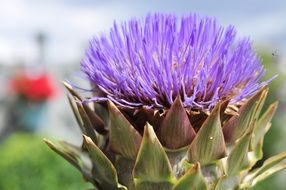 blossom of artichoke flower