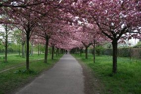 the Avenue of cherries