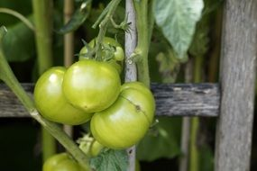 green tomatoes in branch