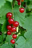 red currant is a vitamin berry