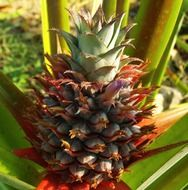 growing pineapple outdoors