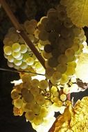 white grapes in viticulture