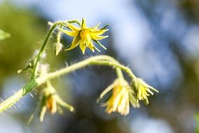 Yellow flowers of tomato plant