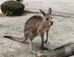 hungry kangaroo stays at empty feeder