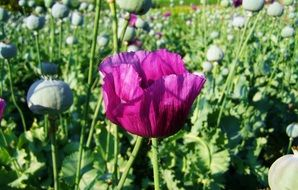 purple poppies on the field