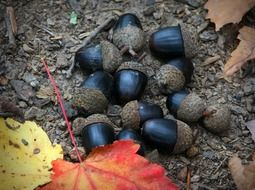 Black acorn nuts on the ground