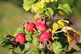 red rosehip berries on a bush
