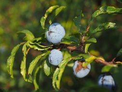 schlehe-berries-blue-bush-fruit
