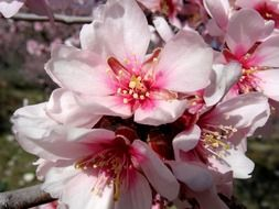 flowers of the almond tree close up