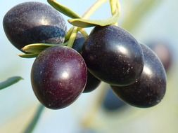 olives-fruit-olive-tree-oelfrucht