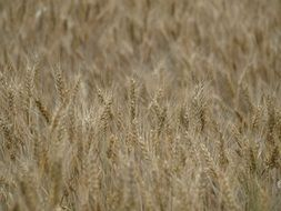 wheat field spike cereals