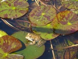 frog on the lily