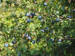 schlehe fruit bush