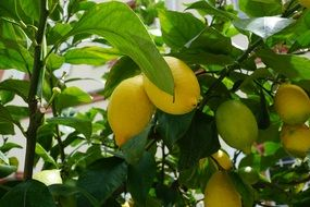 lemon tree tropical