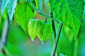 green fruit of Cape gooseberry