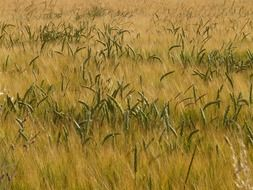 green spikelets among the dry field