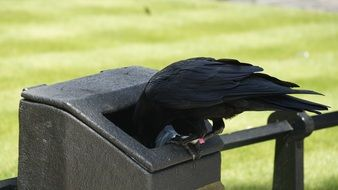 raven in trash can