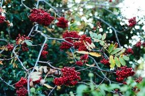 clusters of red berries on a tree