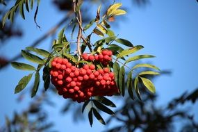 red rowan fruits on a branch
