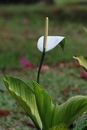 flower white calla floral plant