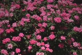 bloom roses bush floral plants natural