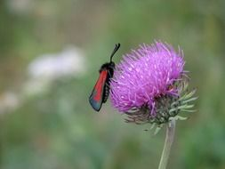 red and black butterfly on purple flower close up