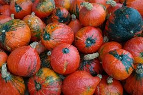 red giant pumpkins
