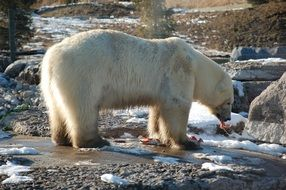 A polar bear eats food near a stone